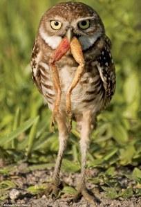 Owl frog